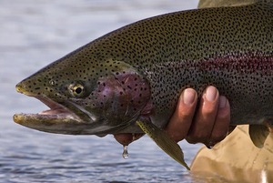 Kvichak River Rainbow Trout